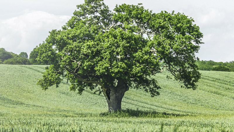 Дерево гинкго билоба